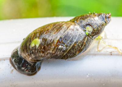 Stagnicola sp. - an air-breathing freshwater snail from the family Lymnaeidae