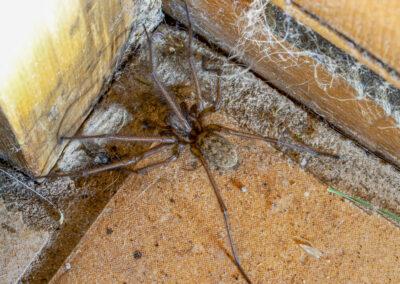 Teganaria saeva (Giant House Spider)