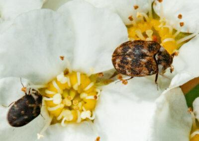 Varied Carpet Beetle (Anthrenus verbasci)