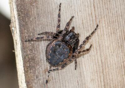 Walnut Orbweb Spider (Nuctenea umbratica)