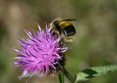 White-tailed Bumblebee (Bombus lucorum) ♂ on Greater Knapweed