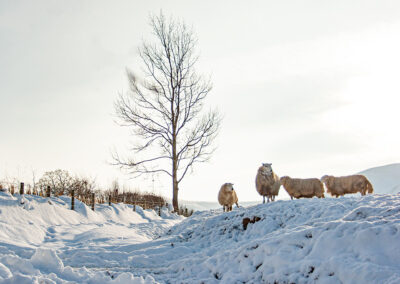 Sheep in the snow, Dernol, January 2013