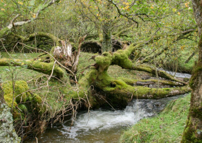 Moss-covered tree over-hanging Nant-y-Dernol