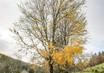 Populus tremula (Aspen) tree