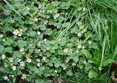 Barren Strawberry (Potentilla sterilis) in Glandernol garden