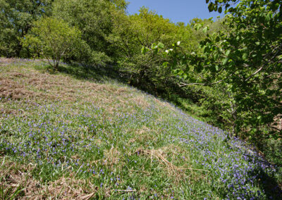 Bluebell (Hyacinthoides non-scripta) on the edge of the woodland at the western end of Dernol