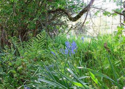 Bluebell (Hyacinthoides non-scripta) in Glandernol garden