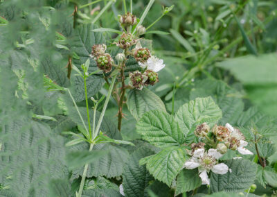 Bramble (Rubus fruticosus agg.) on road verge. There are many sub-species of Bramble.