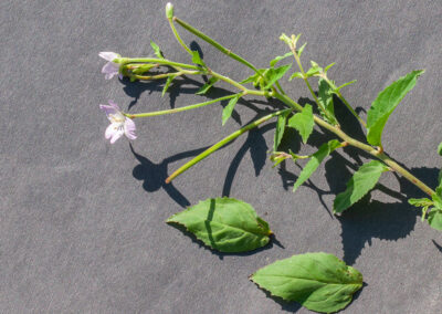 Broad-leaved Willowherb (Epilobium montanum) in Glandernol garden