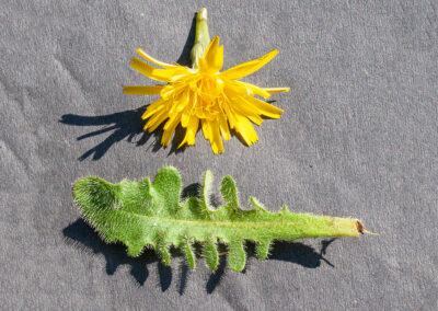 Common Cat's-ear (Hypochaeris radicata) in Glandernol garden