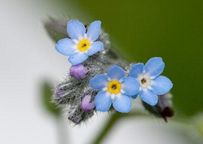 Common Forget-Me-Not (Myosotis arvensis) in Glandernol garden