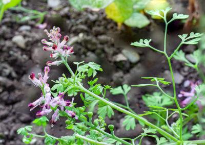 Common Fumitory (Fumaria officinalis) in Glandernol garden