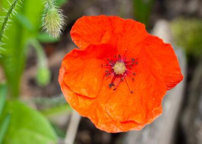 Common Poppy (Papaver rhoeas) in Glandernol garden