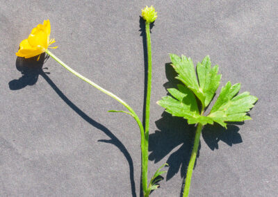 Creeping Buttercup (Ranunculus repens) in Glandernol garden