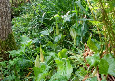 Cuckoo Pint (Arum maculatum) in Glandernol garden