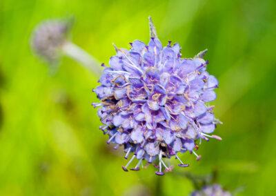 Devil's-bit Scabious (Succisa pratensis) in Glandernol garden