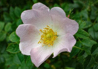 Dog Rose (Rosa canina) in Glandernol garden. There are many subspecies of the wild rose.