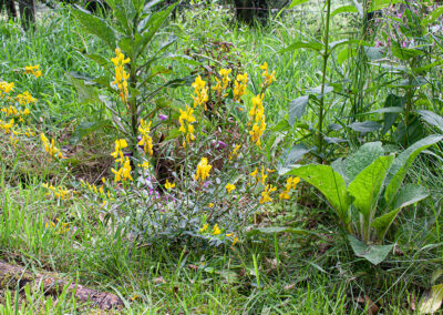 Dyer's Greenweed (Genista tinctoria) in Glandernol garden