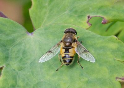 Eristalis horticola ♂ hoverfly