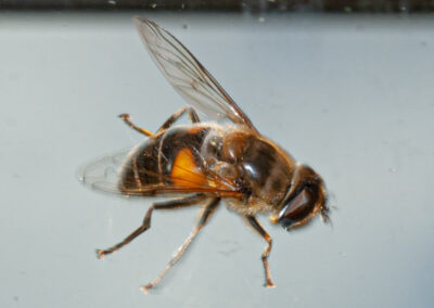 Eristalis sp. hoverfly