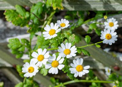 Feverfew (Tanacetum parthenium) in Glandernol garden