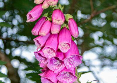 Foxglove (Digitalis purpurea) in Glandernol garden