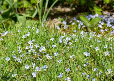 Germander Speedwell (Veronica chamaedrys) in Glandernol garden