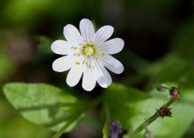 Greater Stitchwort (Stellaria media) in Glandernol garden