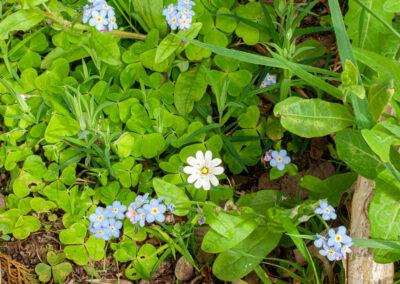 Greater Stitchwort, Wood Sorrel and Forget-me-not in Glandernol garden