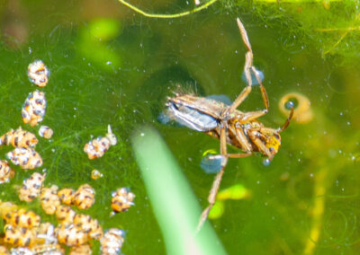 Greater Water Boatman (Notonectidae sp.) in Glandernol garden pond