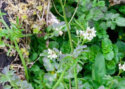 Hairy Bittercress (Cardamine hirsuta) in Glandernol garden