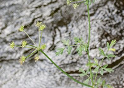Hemlock Water Dropwort (Oenanthe crocata) on Nant-y-Dernol riverbank