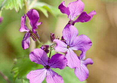 Honesty (Lunaria annua) in Glandernol garden