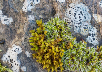 Mosses and lichen on a rock