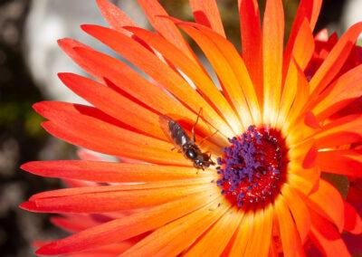 Hoverfly on Mesembryanthemum