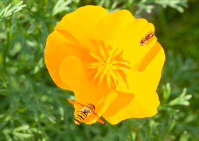 Hoverflies on California Poppy