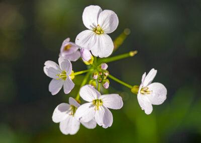 Lady's Smock / Cuckoo Flower (Cardamine pratensis)