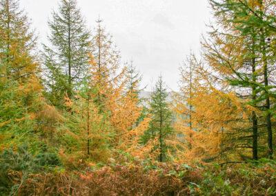 Larix decidua (Larch) trees