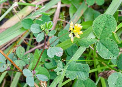 Lesser Hop Trefoil (Trifolium dubium)