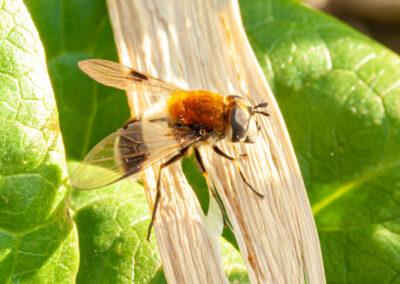 Leucozona lucorum (Blotch-winged Hoverfly)