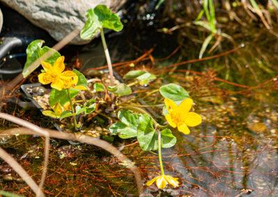 Marsh Marigold / Kingcup (Caltha palustris)