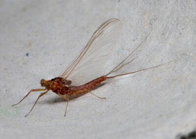 Mayfly caught in moth trap in Glandernol garden