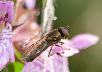 Platycheirus sp. hoverfly