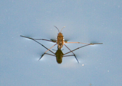 link to pond skaters page