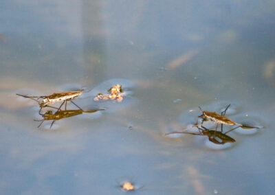 Pond Skater (Gerris odontogaster) on Glandernol garden pond