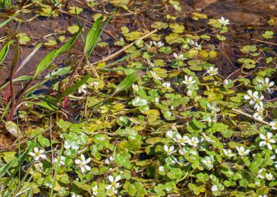 Round-leaved Crowfoot (Ranunculus omiophyllus)
