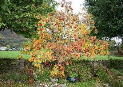 Sorbus aucuparia (Rowan) tree