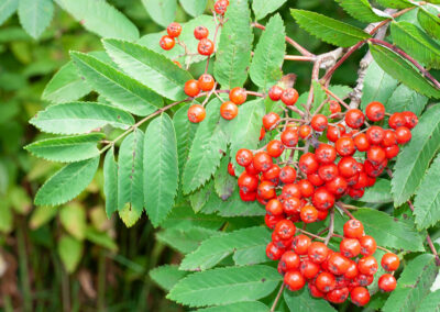 Sorbus aucuparia (Rowan) berries