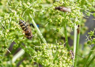 Scaeva selenitica + Meliscaeva auricollis on Angelica