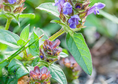 Selfheal (Prunella vulgaris)